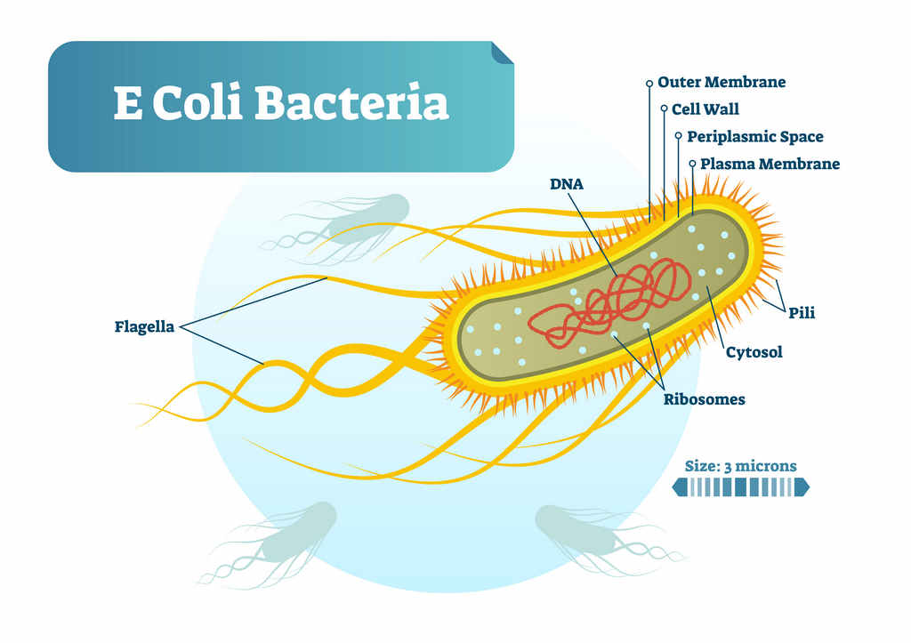 ecoli_bacteria_food_safety_illness_