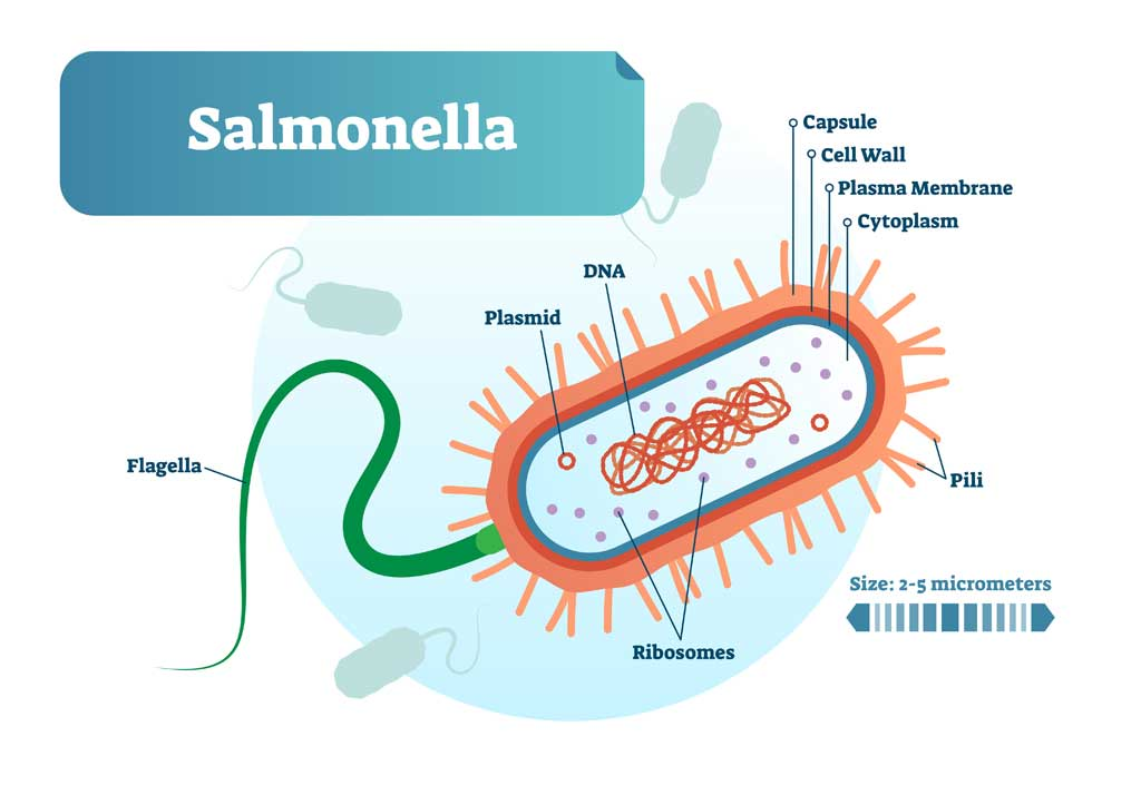 salmonella_food_safety_illness