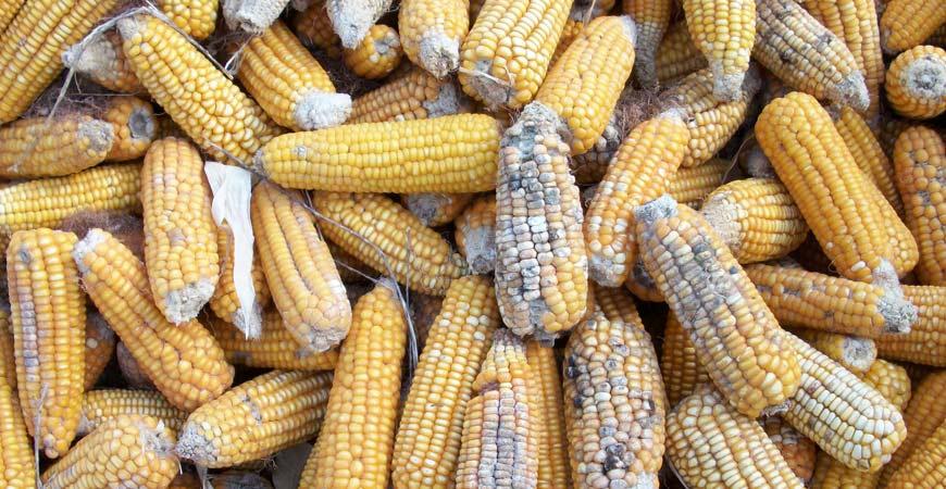 aflatoxins--food-safety
