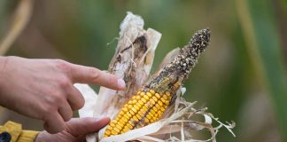 aflatoxins_toxins_food_safety_illness