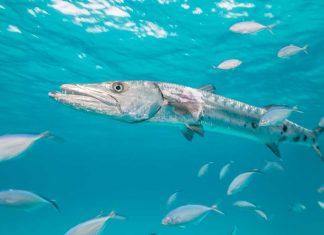 ciguatera_seafood_food_safety_illnes